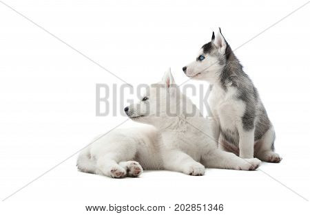 Back view of funny siberian husky puppies, sitting on floor in studio against white, interesting looking away, waiting for food. Two carried dogs like wolf with gray and white color of fur. Isolate.
