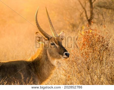 Waterbuck ram portrait in natural habitat, Serengeti National Park, Tanzania, Africa.