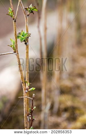 Saplings of raspberry. Young raspberry bushes. Raspberry seedlings. Spring shoots.