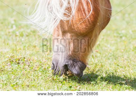 Beautiful Haflinger Horse In The Alps / Mountains In Tirol