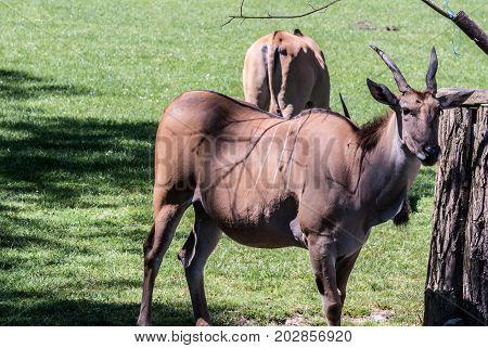 common eland antelopes animals with grass around