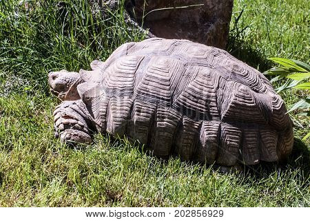 African spurred  tortoise (turtle) animal on grass