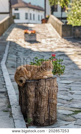 A fluffy ginger tabby male cat resting on a wooden block in front of a souvenir shop in the national revival architectural complex in Tryavna, Bulgaria, Eastern Europe. Blurred and bokeh background.