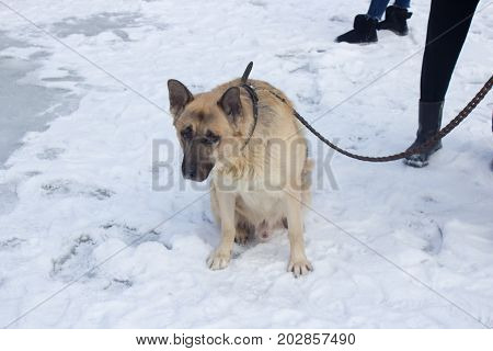 A shepherdess sits on a leash in the winter in snow