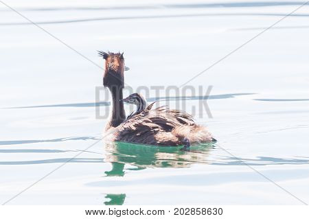 Great Crested Grebe (podiceps Cristatus) With Chick On Back