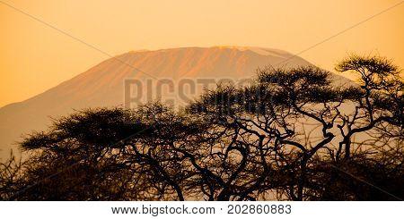 Evening silhouette of Mount Kilimanjaro hidden behind trees, Tanzania, Africa.