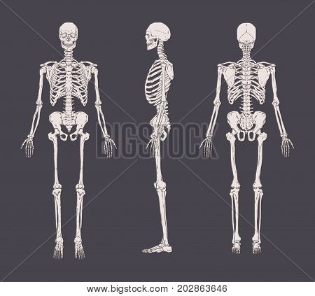 Set of realistic skeletons isolated on gray background. Anterior, lateral and posterior view. Concept of anatomy of human skeletal system. Vector illustration for educational or medical banner