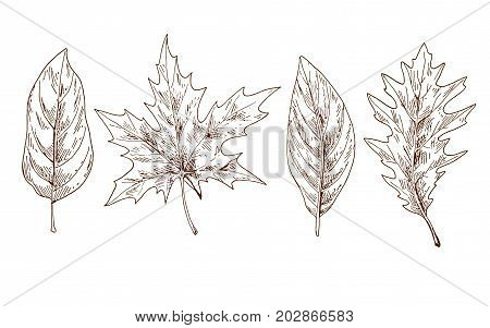 Various autumn leaves contoured. Brow contour. Vector Illustration