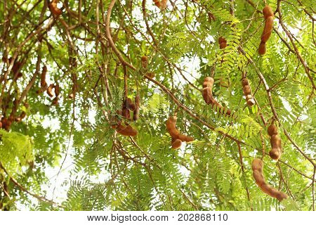 Branch of Tamarind tree with many seed pods