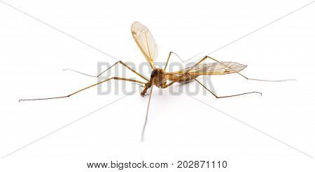 Insect Mosquito Isolated on a white background.