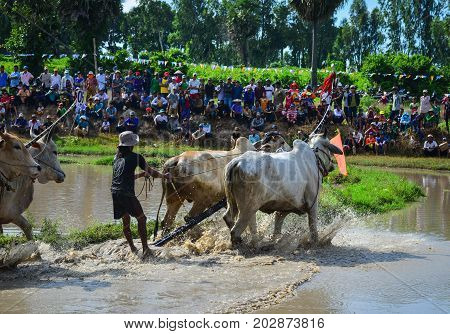Cow Racing On Rice Field In Mekong Delta, Vietnam
