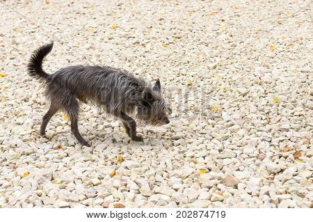 Shaggy, tattered Chinese Crested dog goes on rubble. The dog is small, active, elegant, very cheerful and has a strong attachment to its owner. Close-up. Concept: cute, home, friend, love, affection, kindness, care. Space under the text. 2018 year of the