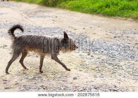 Chinese Crested Dog is a breed of dogs. The dog is small, active, elegant, very cheerful and has a strong attachment to its owner. Close-up. Concept: cute, home, friend, love, affection, kindness, care. Space under the text. 2018 year of the dog in the ea