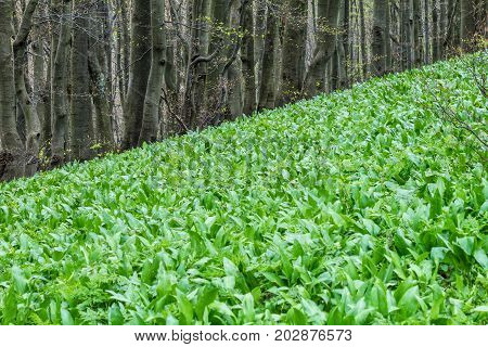 Allium ursinum known as ramsons in the forest.