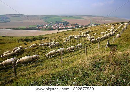 Flock of sheep with Escalles village and colorful surrounding fields in the background, Cap Blanc Nez, Cote d'Opale, Pas de Calais, Hauts de France, France