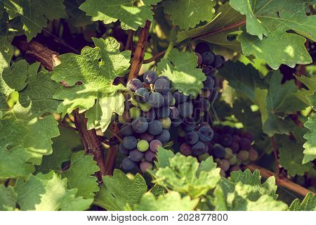 Red grapes on the vine in Moldova