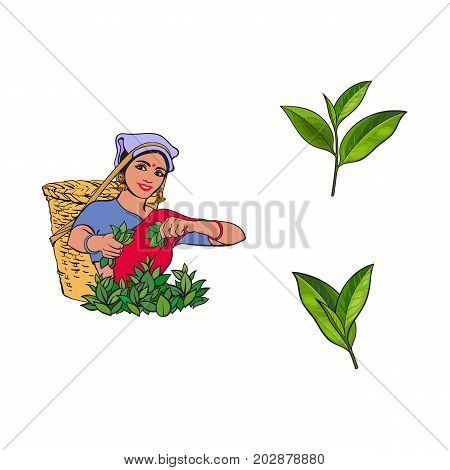 vector sketch cartoon indian Sri-lanka local woman collecting tea in tradition way smiling in big wicker basket, green tea leaves set. Traditionally dressed female character, hand drawn india symbols