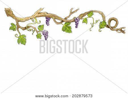 Grape branch Hand drawn illustration. White background