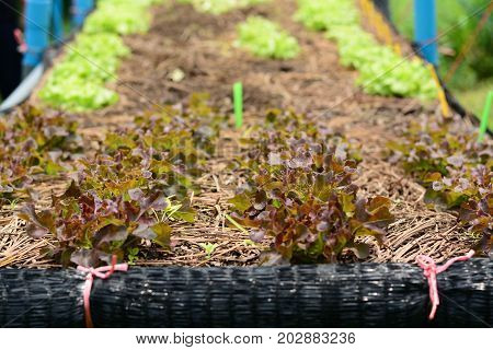 Hydroponic vegetable farm Agriculture and food concept. (green oak and red oak Lettuce salad)