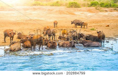 Herd of african buffalos at the river, Ngorongoro Conservation Area, Tanzania, Africa.