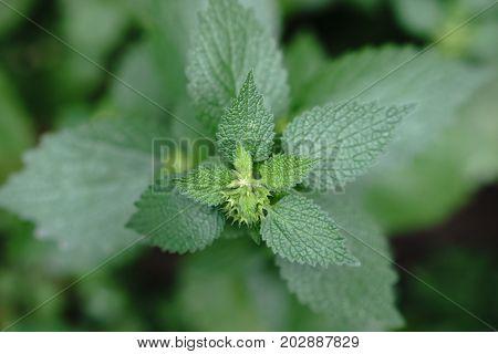 Common Nettle. Green Fresh Nettle Background. Stinging Nettle Concept Design. Lots Of Stinging Nettl