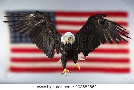 North American Bald Eagle flying with American flag.