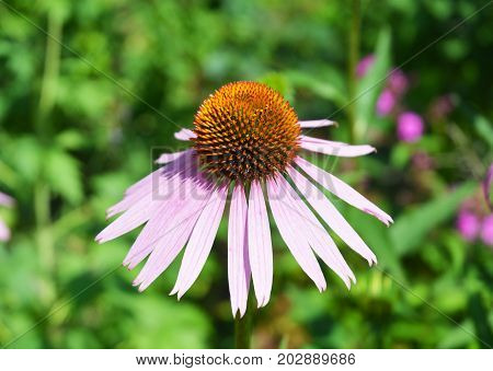 Close up on Growing for Echinacea Purple Coneflower.