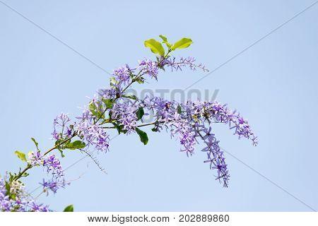Purple Wreath or Sandpaper Vine or Queen's Wreath
