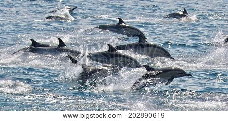 Common Dolphins in the Bay and Strait of Gibraltar