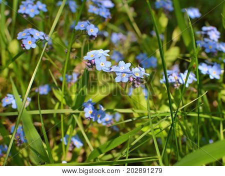 Forget Me Not Wild Flowers