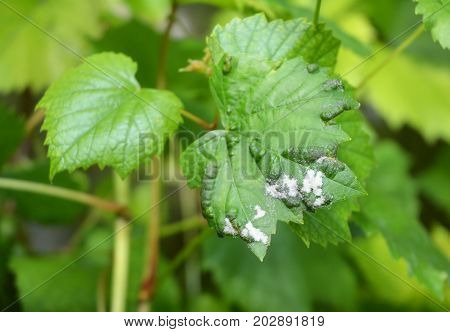 Grape Powdery Mildew. Grapevine diseases. Downy Mildew (Plasmopara vitikola) is a fungal disease that affects a wide range of plants.