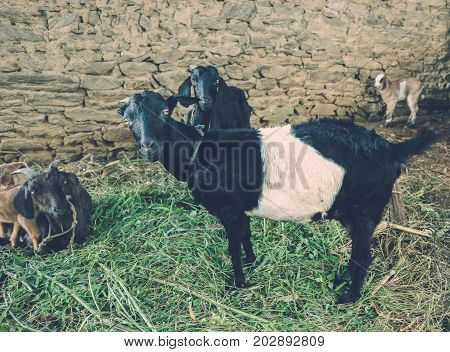 Goats Grazing Near Country House In Kathmandu Village In Nepal.