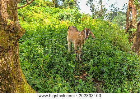 Young Brown Goat Standing In Meadow In Kathmandu Village, Nepal