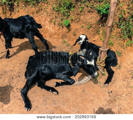Black Goats Resting On The Soil In Kathmandu Village In Nepal.