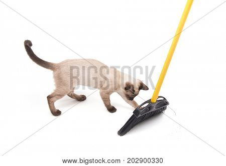 Siamese cat playing with a broom while floor is being swept, on white