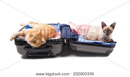 Ginger tabby and Siamese cat on an open luggage, waiting to get on a trip, on white background