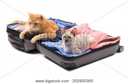A big ginger tabby cat and a Siamese kitten lying on an open luggage, on white