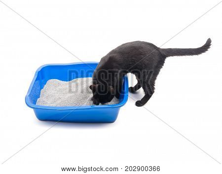 Black cat covering her urine in a litter box, on white