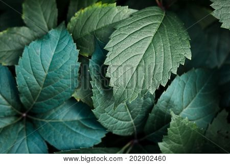 Green leaf texture. Leaf texture background. The natural texture of the Grass. Autumn foliage. Wild grapes. Texture of autumn leaves.