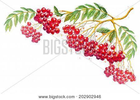 Beautiful hand drawn watercolor branches of Rowanberry with leaves, isolated on the white horizontal background with empty place for your text
