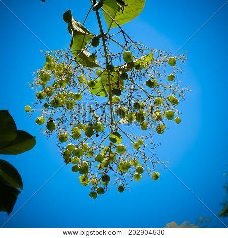 Teak foliage and fruits on teak tree