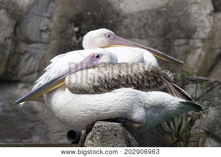 Two pink pelicans sea birds sit on a rock