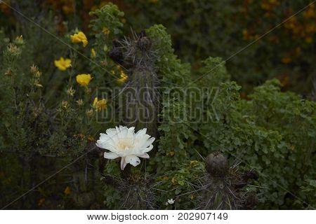 Flowers in the Atacama Desert. Flowering cacti after rare rain in the Atacama Desert. Parque Nacional Llanos de Challe, near Vallenar in northern Chile.