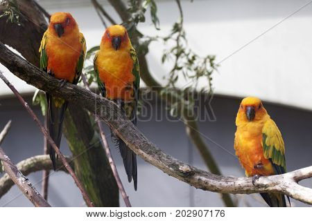 Three sun parakeet  (Aratinga solstitialis) sitting on a branch