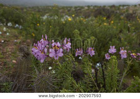 Rare native plant (Alstroemeria philippii) flowering in the Atacama Desert amongst the cacti after rare rain in the Atacama Desert. Parque Nacional Llanos de Challe, near Vallenar in northern Chile.