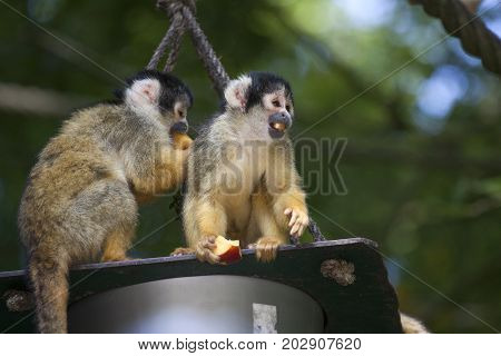 Two eating squirrel monkey sit on the edge of their food box