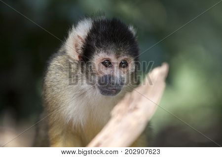 Lovely small squirrel monkey looking at something