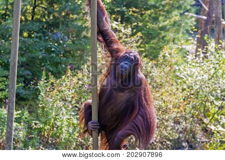 Hanging Orang-utan in the zoo (Pongo pygmaeus)