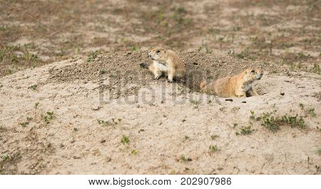 Two Prairie Dogs remain curious about who approaches in South Dakota