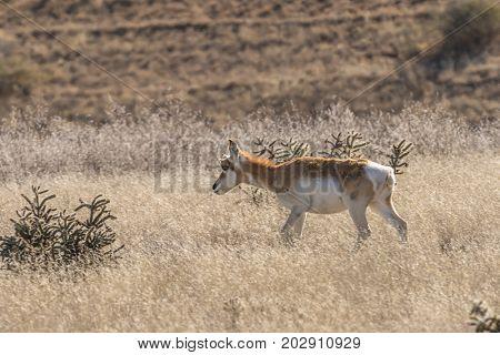 pronghorn antelope doe on the Arizona prairie